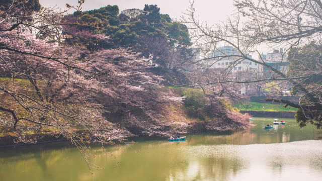 before peak cherry blossom time lapse - kanto region stock videos and b-roll footage