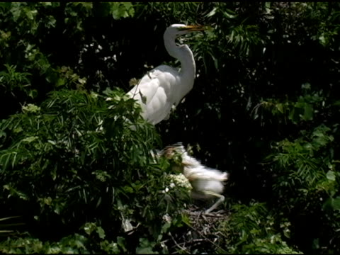 begging great egret chick - great egret stock videos & royalty-free footage