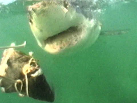 beginning above the waves, the camera is pulled under as the bait to which it is attached is pulled by a great white shark (carcharodon carcharias). the picture flashes before the shark swims away. shot off the coast of gansbaai, south africa. - furious stock videos & royalty-free footage