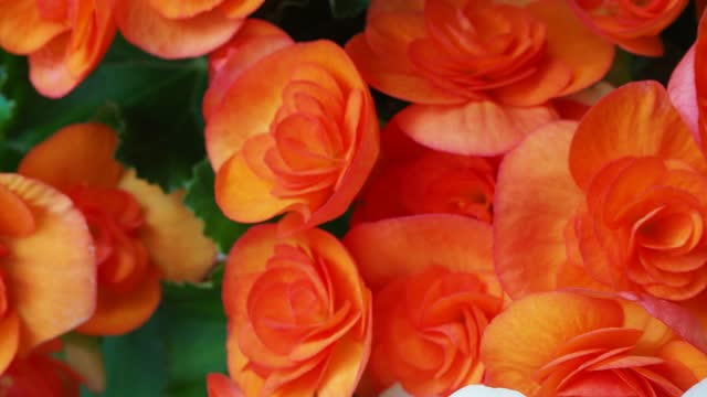 begonia bulbs (roseform), orange roseform begonias burst - plant bulb stock videos & royalty-free footage