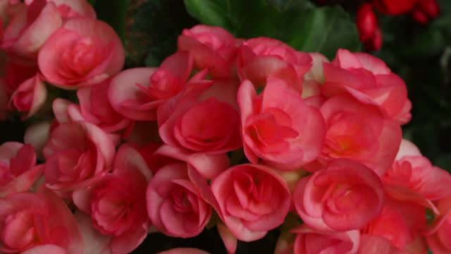 begonia bulbs (roseform), pink roseform begonias burst - plant bulb stock videos & royalty-free footage