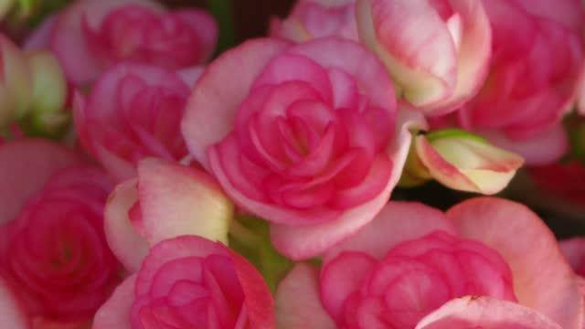 begonia bulbs (roseform), pink roseform begonias - plant bulb stock videos & royalty-free footage