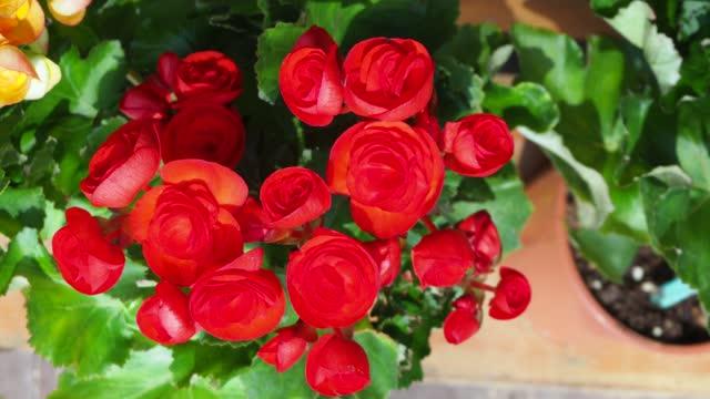 begonia bulbs (roseform) - plant bulb stock videos & royalty-free footage