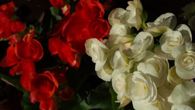 begonia bulbs (roseform), white roseform - plant bulb stock videos & royalty-free footage