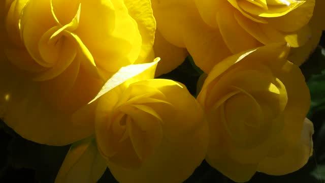 begonia bulbs (roseform) yellow roseform begonias burst - plant bulb stock videos & royalty-free footage