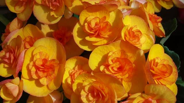 begonia bulbs (roseform), yellow roseform begonias burst - plant bulb stock videos & royalty-free footage