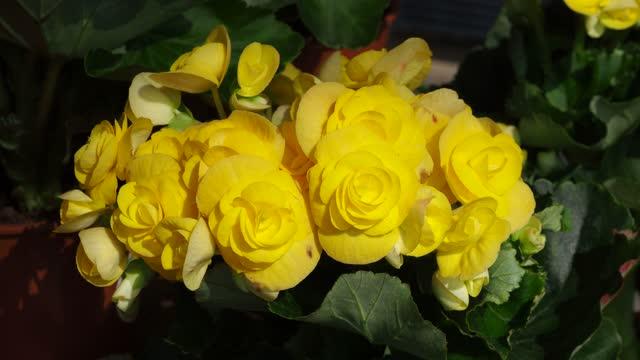 vídeos y material grabado en eventos de stock de begonia bulbos (roseform) amarillo - bouquet