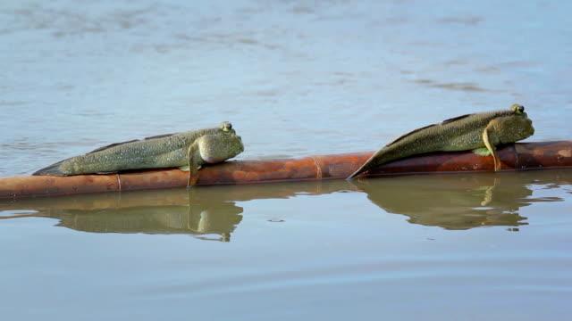 behavior of mudskipper - mudskipper stock videos and b-roll footage