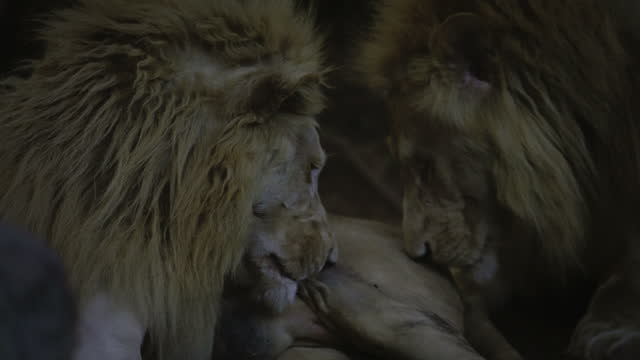 stockvideo's en b-roll-footage met behaviour lion - animal behaviour