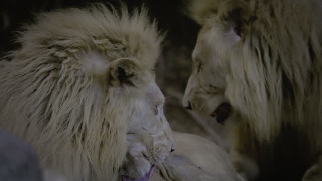 behaviour lion - animal behaviour stock videos & royalty-free footage