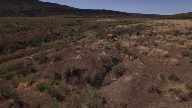 Behind to side tracking of wild horses 4k, Drone aerial view of Wild horses grazing and running near the grand canyon close to the arizona utah border
