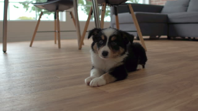 being in a new home - collie stock videos & royalty-free footage