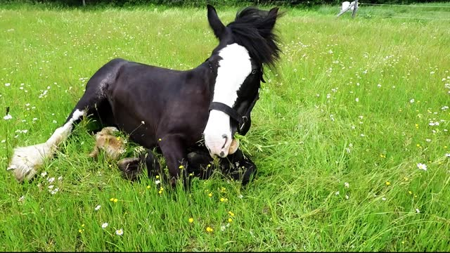 belle is a gigantic and beautiful clydesdale who lives on an incredible farm near peterborough, ontario. she is part of a herd of incredible horses... - draft horse stock videos & royalty-free footage