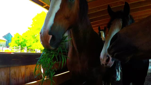 belle is an enormous and beautiful clydesdale horse who loves life she adores the farm that is now her home she spends her days in a paddock or in... - zugpferd stock-videos und b-roll-filmmaterial