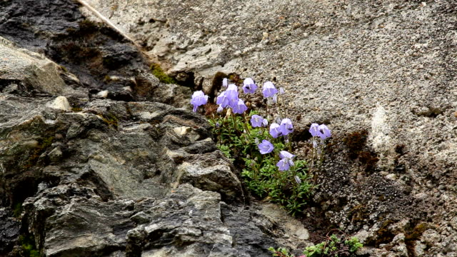 Bellflower; Campanula alpina