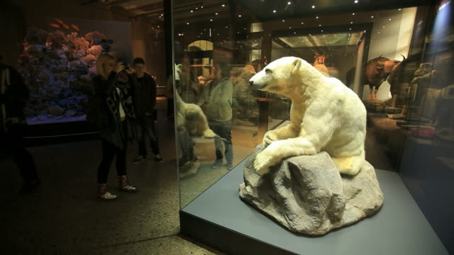 "beloved polar bear ""knut"" on exhibit in the museum of natural history in berlin, berlin  - ausstellung stock-videos und b-roll-filmmaterial"