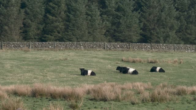 Belted Galloway cattle in a Scottish field