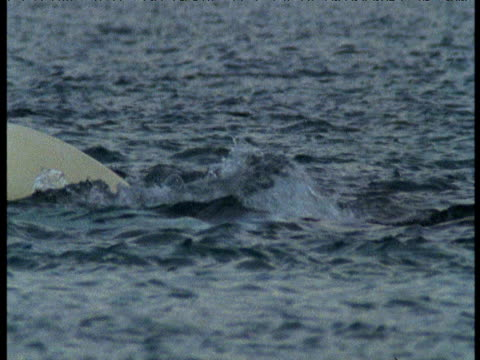 beluga pod splashing at surface, somerset island - cetacea stock videos & royalty-free footage