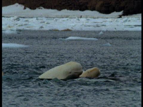 Beluga pod splashing at surface then submerge, Somerset Island, Canada