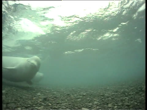 beluga swims over shallow seabed looking towards camera, cunningham inlet, somerset island - cetaceo video stock e b–roll