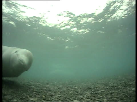Beluga swims past camera over shallow seabed, Cunningham Inlet, Somerset Island