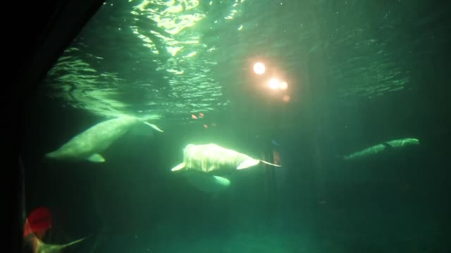 beluga wales swim at the john g shedd aquarium on october 3 2014 in chicago illinois shedd aquarium houses 32000 animals and hosts more than 2... - shedd aquarium stock videos and b-roll footage