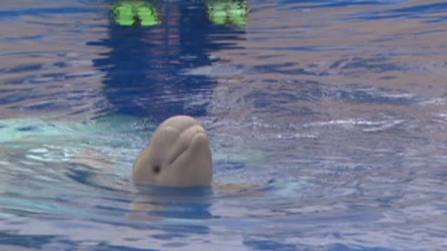 beluga whale at sea world on august 07, 2013 in san diego, california - aquatic organism stock videos & royalty-free footage