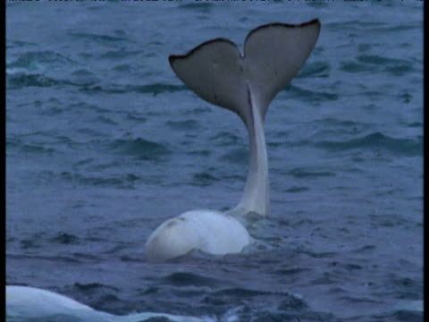 Beluga whale holds tail out of water and waggles it, Somerset Island