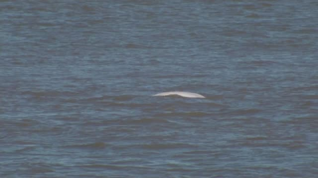 beluga whale spotted in the thames 'swimming strongly and feeding normally' england kent gravesend long shot beluga whale surfacing boat along - cetacea stock videos & royalty-free footage