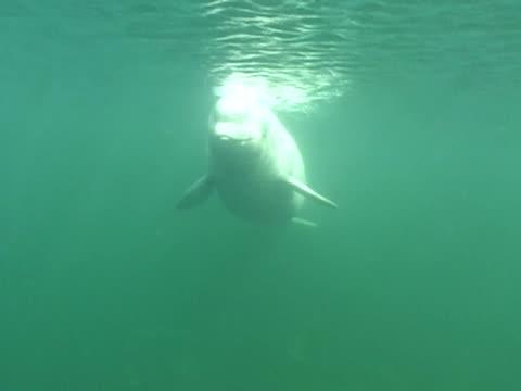 ms, cu, beluga whale, underwater view  - tierhaut stock-videos und b-roll-filmmaterial