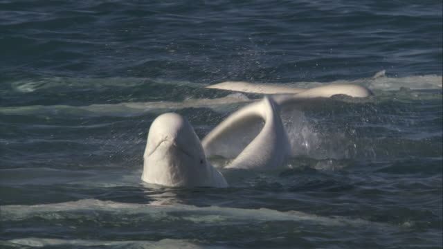 a beluga whale waves its flukes in the cunningham inlet. - wal stock-videos und b-roll-filmmaterial