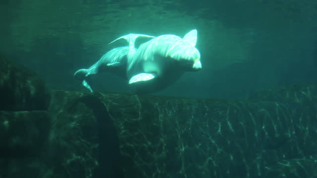 beluga whale with baby 1080 hd - undersea stock videos & royalty-free footage