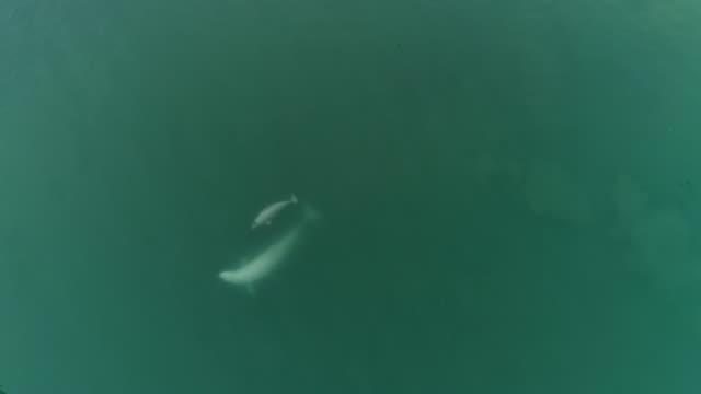 beluga whales, aerial view - cetacea stock videos & royalty-free footage