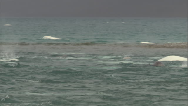 beluga whales break the surface of the water in cunningham inlet. - inlet stock videos & royalty-free footage