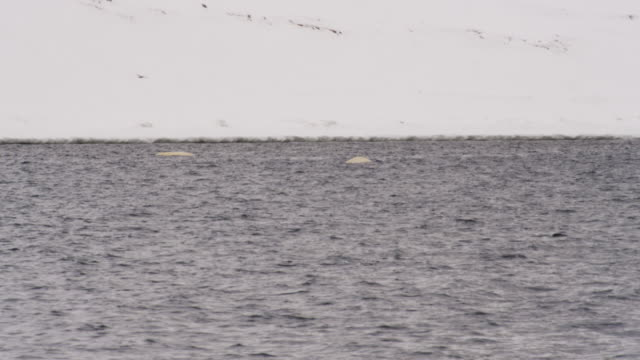 beluga whales breaking the water surface, spitsbergen, svalbard - cetacea stock videos & royalty-free footage