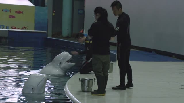beluga whales released from captivity into wild; china, shaghai: beluga whales in pool, emily madge interview. china: shanghai: int various shots of... - tape measure点の映像素材/bロール