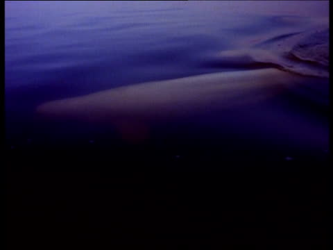 beluga whales swim near the surface of the ocean. - マニトバ州点の映像素材/bロール
