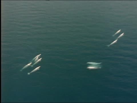 aerial beluga whales swimming - kleine gruppe von tieren stock-videos und b-roll-filmmaterial