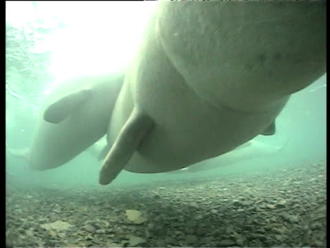 belugas nudge and bite at camera, cunningham inlet, somerset island - inlet stock videos and b-roll footage