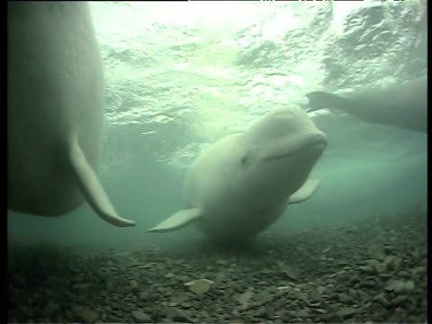 Belugas nudge and investigate camera