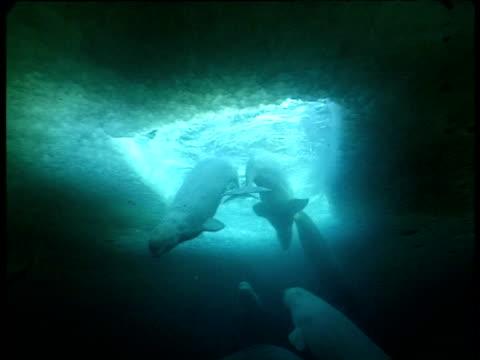 stockvideo's en b-roll-footage met belugas surface in breathing hole, grise fjord, canada - cetacea
