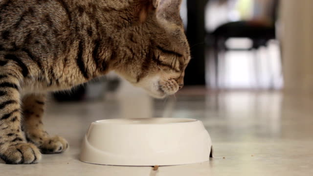 bengal cat has finished eating and is walking away from his food bowl - feeding stock videos & royalty-free footage