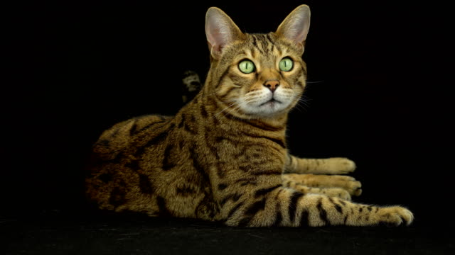4k bengal cat on black background - sfondo nero video stock e b–roll