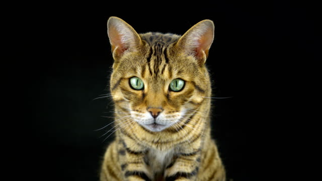 4k bengal cat on black background - 30 seconds or greater stock videos & royalty-free footage