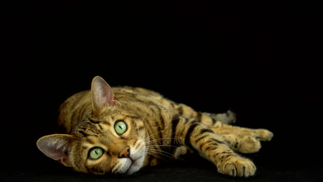 4k bengal cat on black background - curiosity stock videos & royalty-free footage