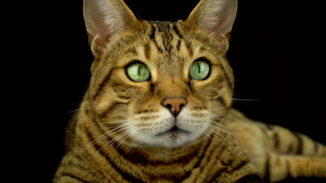 4k bengal cat on black background - animal head stock videos & royalty-free footage