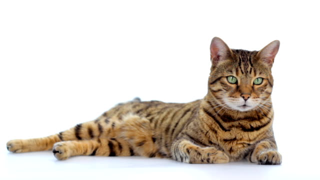 bengal cat on white background - white background stock videos & royalty-free footage