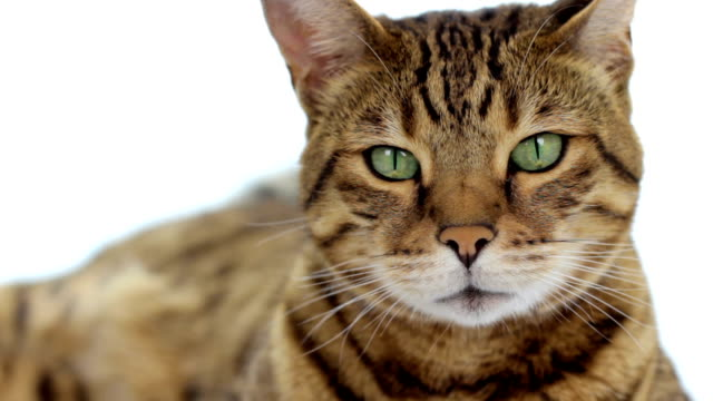 bengal cat on white background - tail stock videos & royalty-free footage