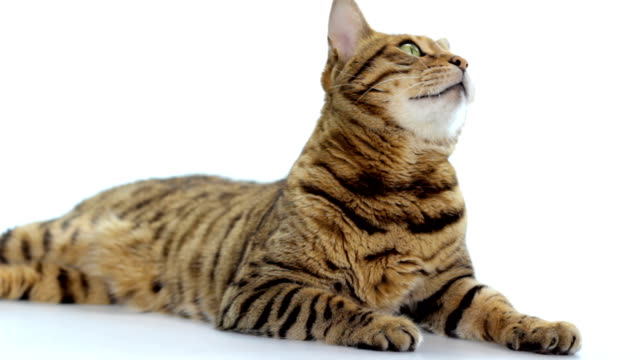 Bengal-Katze auf weißem Hintergrund