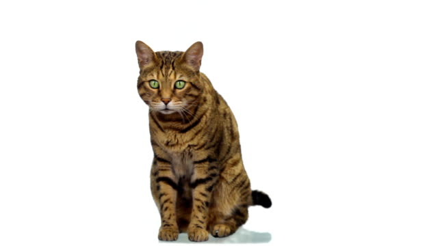 Bengal cat sitting on white background